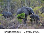 three elephant in malawi's... | Shutterstock . vector #759821923
