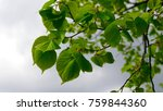 nature background with linden...   Shutterstock . vector #759844360