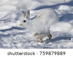 Stock photo snowshoe hare or varying hare running in the winter snow in canada 759879889