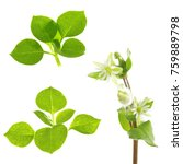 Small photo of leaves and flowers of stellaria on a white background