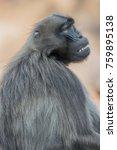 portrait of sad african baboon... | Shutterstock . vector #759895138
