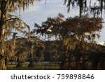 Bald Cypress Trees In The Bayou