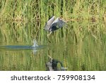 heron flying up after catch a... | Shutterstock . vector #759908134