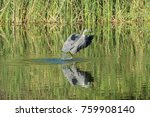 heron flying up after catch a... | Shutterstock . vector #759908140