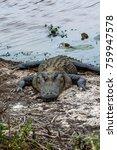 Small photo of An American Alligator ( Alligator Mississippiensis ) Crawling out of the Water Looking for Food