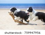 Stock photo border collie puppies plays in the beach 759947956
