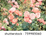 Stock photo blooming colorful rose flowers in sunny garden or park seasonal flowers 759985060