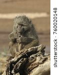 young olive baboon eating fruit ... | Shutterstock . vector #760020148
