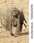 female olive baboon with baby... | Shutterstock . vector #760020190