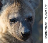 spotted hyena puppy with cute... | Shutterstock . vector #760025479