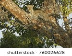 Female Leopard Resting In...