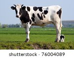 Black And White Cow Standing I...