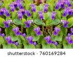Viola Riviniana Flowers In Par...
