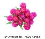 Flower Head Of Globe Amaranth...