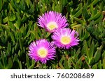 Trailing Ice Plants On The...