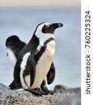 the african penguin  spheniscus ...   Shutterstock . vector #760225324
