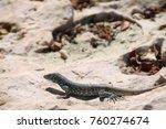 arubian whiptail lizard | Shutterstock . vector #760274674