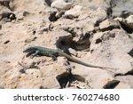 arubian whiptail lizard | Shutterstock . vector #760274680