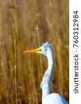big white heron. great egret.... | Shutterstock . vector #760312984