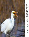 big white heron. great egret.... | Shutterstock . vector #760312990