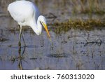 big white heron. great egret.... | Shutterstock . vector #760313020
