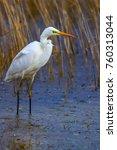 big white heron. great egret.... | Shutterstock . vector #760313044