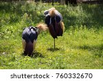 two grey crowned crane ... | Shutterstock . vector #760332670