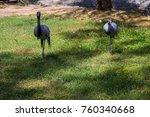 demoiselle crane  grus virgo ... | Shutterstock . vector #760340668