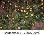 paracress in the garden | Shutterstock . vector #760378096