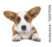 Stock photo brown and white welsh corgi pembroke puppy lying on the floor seen from the front looking adorable 760379206