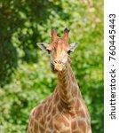 african three horned giraffe ... | Shutterstock . vector #760445443