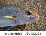 Small photo of Amberjack Fish Kauai