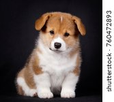 Stock photo corgi puppies on black background red tricolor one month old 760472893