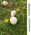 Small photo of Field Mushroom (Agaricus campestris) Growing on Baggy Point on the South West Coast Path between Woolacombe and Croyde in Rural Devon, England, UK