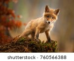a young fox shot in a forest. | Shutterstock . vector #760566388
