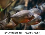 red bellied piranha or red... | Shutterstock . vector #760597654