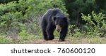 the sri lankan sloth bear ... | Shutterstock . vector #760600120