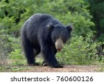 the sri lankan sloth bear ... | Shutterstock . vector #760600126