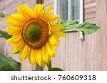 blooming sunflower in the garden | Shutterstock . vector #760609318