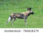 hyena in field at zoo | Shutterstock . vector #760618174