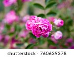 pink rose flowers on the rose... | Shutterstock . vector #760639378