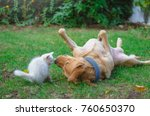 Stock photo white kitty and dog playing on grass 760650370