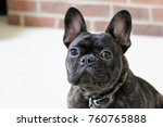 brindle french bulldog puppy... | Shutterstock . vector #760765888