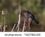 A Female Red Winged Blackbird...