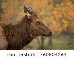 Small photo of Profile of female American elk