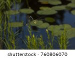 Small photo of Subarctic darner dragonfly, Aeshna subarctica, in flight over Lake Solitude on Mt. Sunapee in Newbury, New Hampshire.