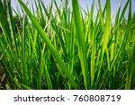 image of green vetiver grass in ... | Shutterstock . vector #760808719