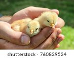 two young chicks in hands of... | Shutterstock . vector #760829524