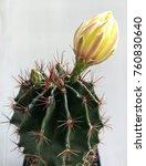 big yellow cactus flower  | Shutterstock . vector #760830640