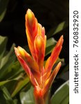 Small photo of Red Flower in the garden [Aechmea fasciata]